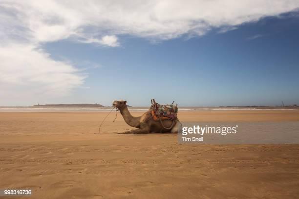 waiting for the world to come along - chameau photos et images de collection