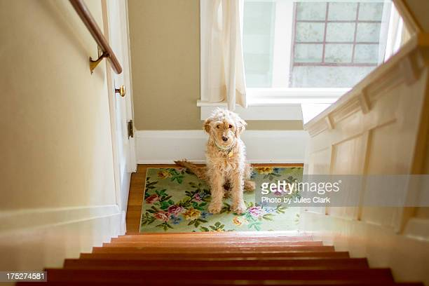 waiting patiently - goldendoodle stock photos and pictures