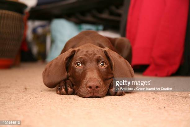 waiting - german shorthaired pointer stock pictures, royalty-free photos & images
