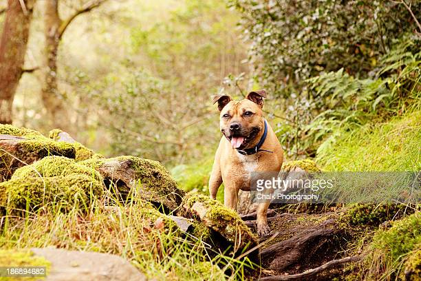 waiting - staffordshire bull terrier stock pictures, royalty-free photos & images