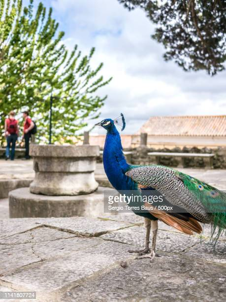 waiting the tourists - pheasant tail feathers stock pictures, royalty-free photos & images