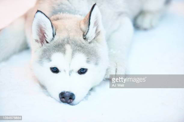 waiting to play in snow - husky dog stock pictures, royalty-free photos & images