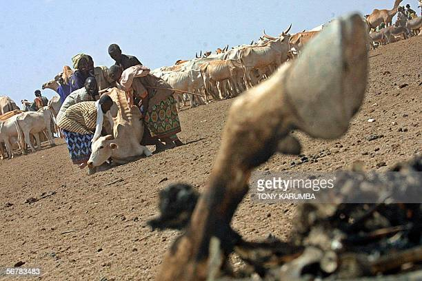 Kenyan pastoralist assist a weak cow that had collapsed due to starvation to stand in the drought stricken Wajir north eastern province Kenya in this...