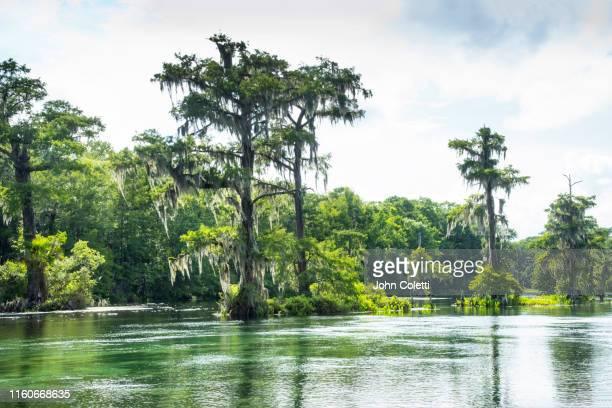 wakulla springs state park, wakulla springs river, cypress trees, alligator - florida us state stock pictures, royalty-free photos & images