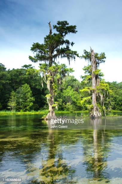 wakulla springs state park, wakulla springs river, cypress trees - florida us state stock pictures, royalty-free photos & images