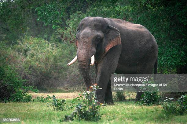 'Walagamaba' the man-killer wild elephant, Kala wewa