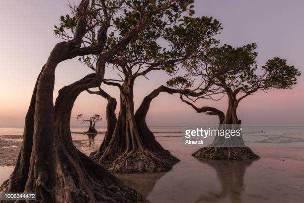 walakiri beach, sumba island - mangrove tree stock pictures, royalty-free photos & images