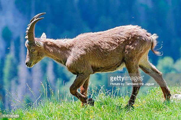 Waling young ibex