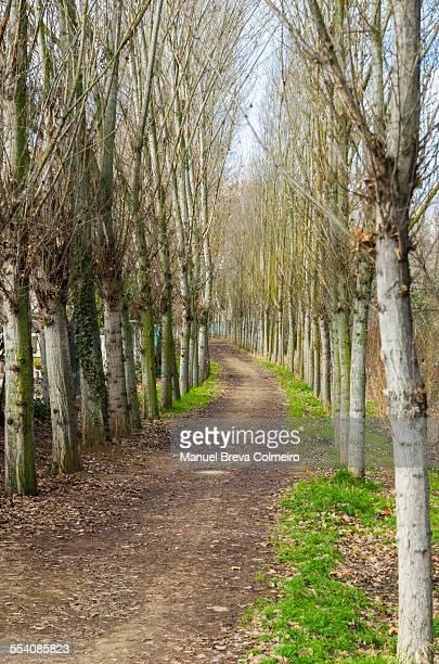 Walk along the road between poplar