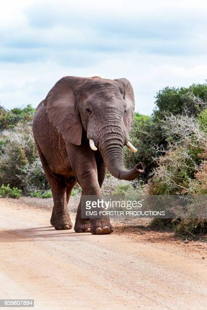 walk of an african elephant through an elephant park in south africa - ems forster productions stock pictures, royalty-free photos & images