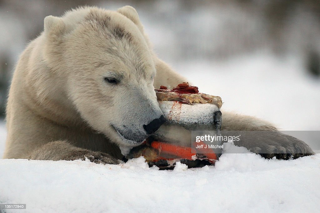 Walker the polar bear feeds on fish on his third birthday at the Highland Wildlife Park on December 7, 2011 in Kingussie, Scotland. Walker was born in Rhenen Zoo in Holland on 7th December 2008. He came to live at the Highland Wildlife Park after his aunt, Freedom, became pregnant and needed to retire to her cubbing den, his mother was also due to come on heat and be reintroduced back to the Zoo's adult male, Walker's dad.