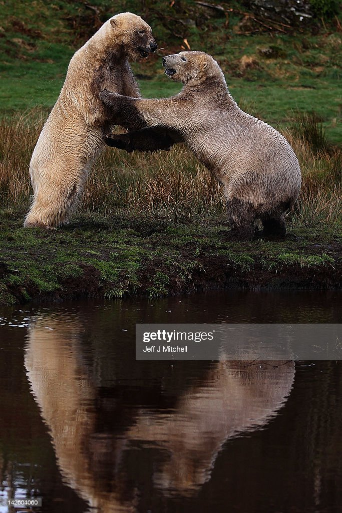 Walker (R), the polar bear, meets with new male companion Arktos at the Highland Wildlife Park on April 9, 2012 in Kingussie, Scotland. Arktos arrived from Hannover Zoo in Germany on April 4 to be a companion to the Park's resident polar bear Walker. A year older than Walker and slightly larger, Arktos is four-years-old and it's hoped that the bears will establish a relationship of friendly competitiveness.