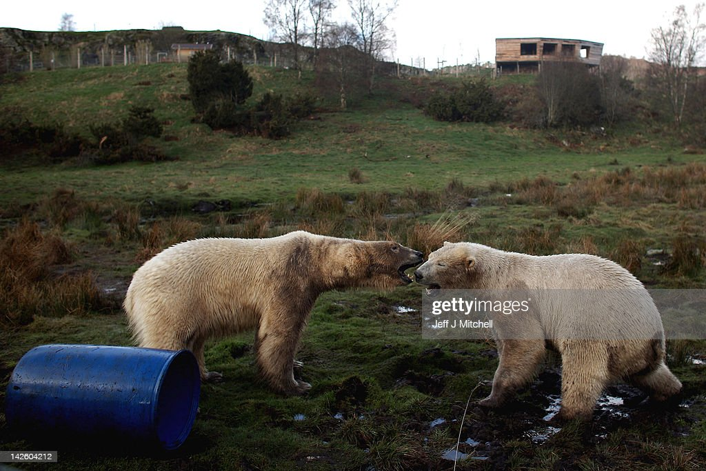Walker (R) the polar bear meets with new male companion Arktos at the Highland Wildlife Park on April 9, 2012 in Kingussie, Scotland. Arktos arrived from Hannover Zoo in Germany on April 4 to be a companion to the Park's resident polar bear Walker. A year older than Walker and slightly larger, Arktos is four-years-old and it's hoped that the bears will establish a relationship of friendly competitiveness.