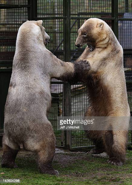Walker the polar bear meets with new male companion Arktos at the Highland Wildlife Park on April 9 2012 in Kingussie Scotland Arktos arrived from...