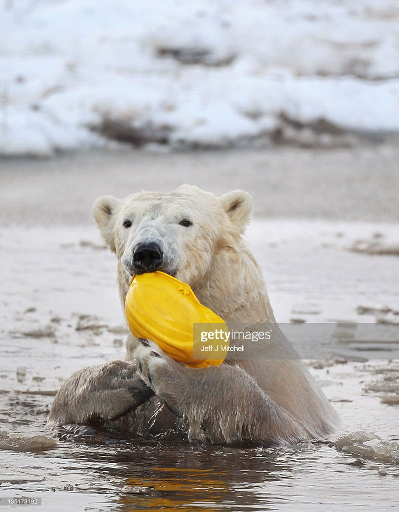 Walker the polar bear plays with a hard hat on his third birthday at the Highland Wildlife Park on December 7, 2011 in Kingussie, Scotland. Walker was born in Rhenen Zoo in Holland on 7th December 2008. He came to live at the Highland Wildlife Park after his aunt, Freedom, became pregnant and needed to retire to her cubbing den, his mother was also due to come on heat and be reintroduced back to the Zoo's adult male, Walker's dad.