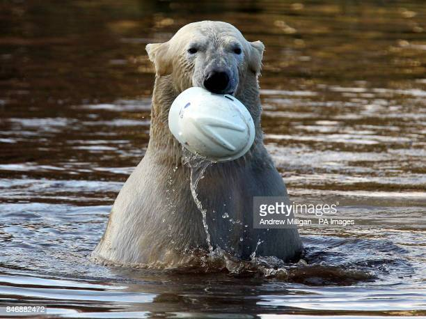 Walker the three year old Polar Bear after dived into his pond after a hard hat at the Highland Wildlife Park at Kincraig Invernessshire PRESS...