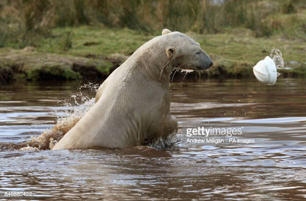 Walker the three year old Polar Bear as he dives into his pond after a hard hat at the Highland Wildlife Park at Kincraig Invernessshire PRESS...