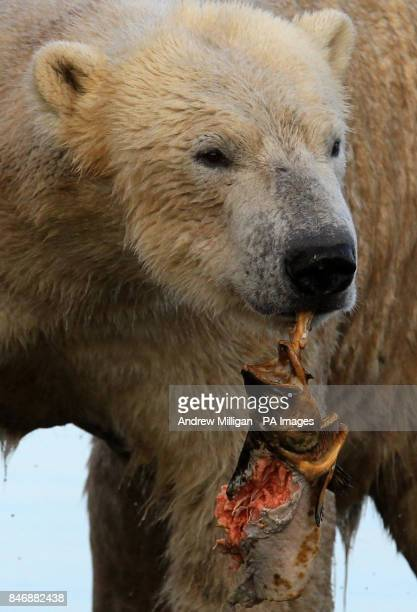 Walker the three year old Polar Bear eats a salmon after being weighed by Head Keeper Una Richardson and Senior keeper David Barclay at the Highland...