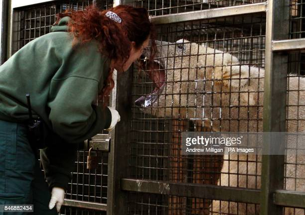 Walker the three year old Polar Bear has her mouth checked after being is weighed by Head Keeper Una Richardson at the Highland Wildlife Park at...