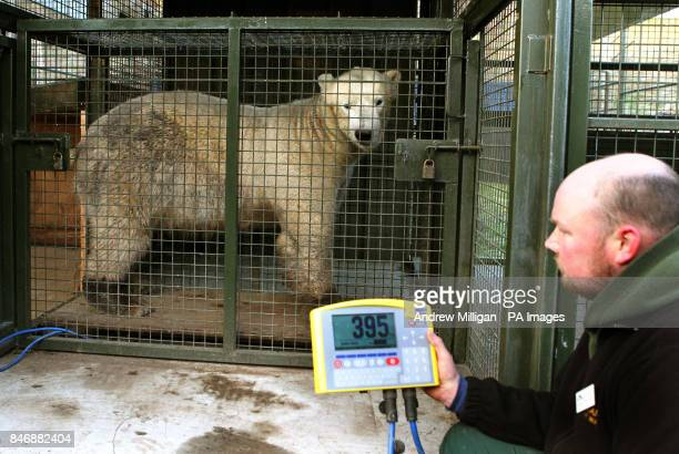 Walker the three year old Polar Bear is weighed by Senior Keeper David Barclay at the Highland Wildlife Park at Kincraig Invernessshire PRESS...