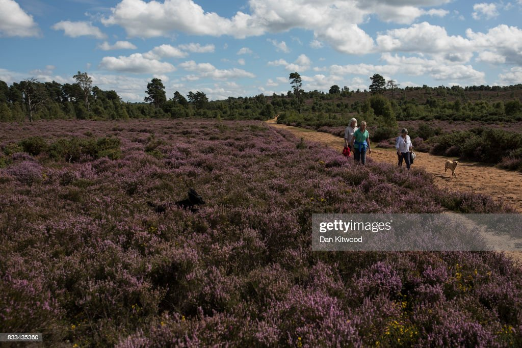Walkers make their way past Heather as it blooms on Thursley National Nature Reserve on August 16, 2017 in Thursley, England. The 325 hectre site, managed by Natural England, is a site of special scientific interest consistsing of open dry heathland, peat bogs, ponds, pine, deciduous woodland and an abundance of wildlife.