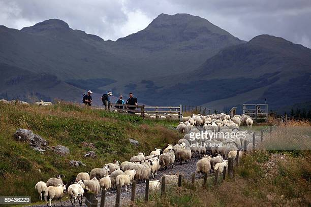 Walkers wait for sheep to pass on part of the West Highland Way on July 28 2009 in Tyndrum Scotland Britons have been put off going abroad on...