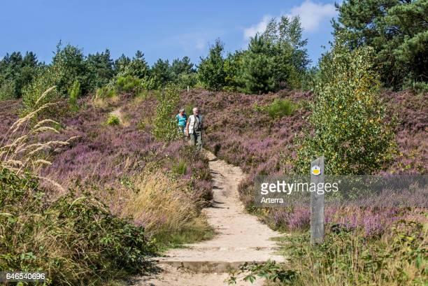 Walkers walking along path in the Mechelse Heide heathland in the Hoge Kempen National Park Limburg Belgium