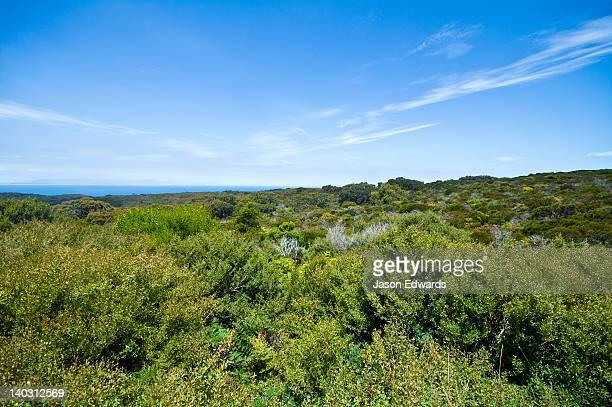 Coastal Tea Tree heath on a hillside overlooking a bright blue ocean.