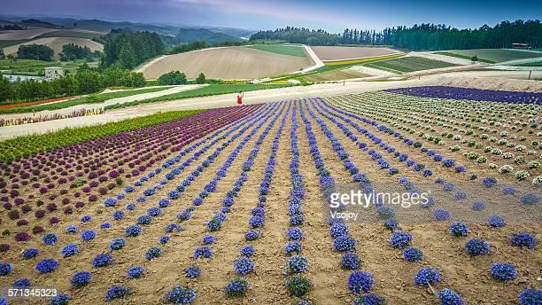 walking at panoramic flowerland, biei, hokkaido - vsojoy stock pictures, royalty-free photos & images