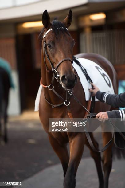 walking bay thoroughbred horse before race. paris, france - racehorse stock pictures, royalty-free photos & images