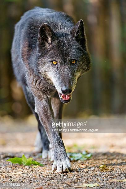 walking black wolf - approaching stock pictures, royalty-free photos & images