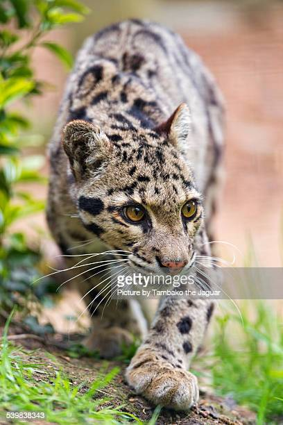 walking clouded leopard - clouded leopard stock photos and pictures