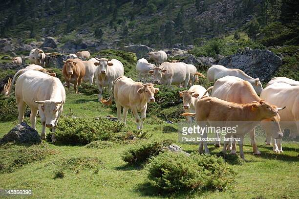 walking cows - midi pyrénées stock photos and pictures