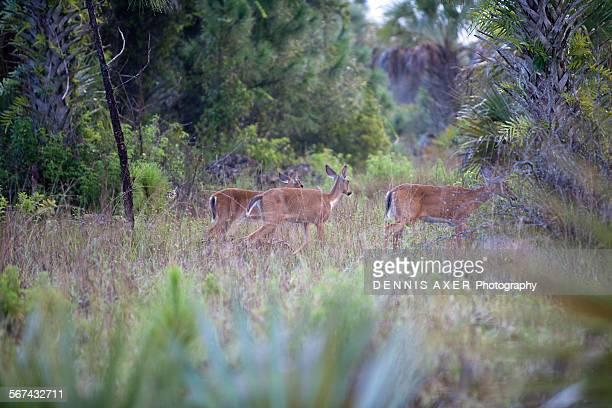 Walking deer in the everglades
