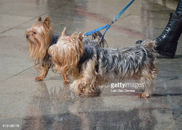 walking dogs on park - chinook dog stock photos and pictures