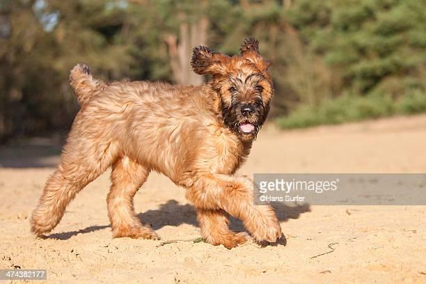 A walking Fauve Briard puppie!