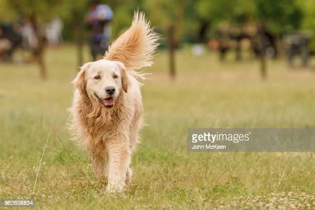 walking golden retriever - golden retriever stock pictures, royalty-free photos & images