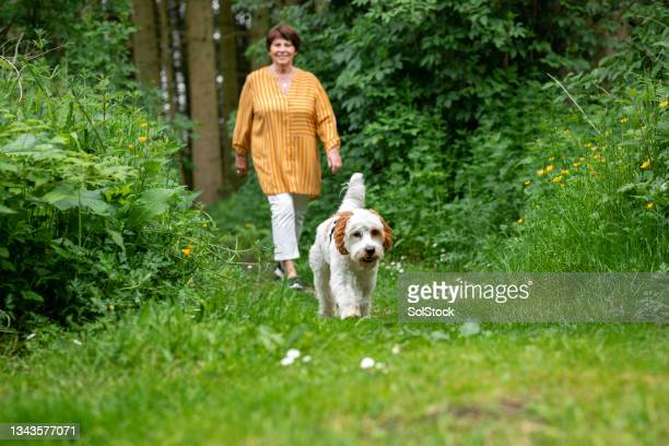 walking her cavapoo dog - morpeth stock pictures, royalty-free photos & images
