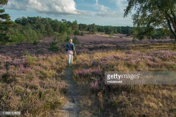 開花のヒースの中を歩く - オランダ リンブルフ州 ストックフォトと画像