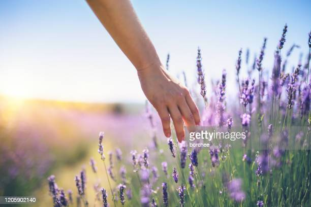 walking in the lavender field - lavender color stock pictures, royalty-free photos & images
