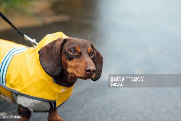 walking in the rain - pet clothing stock pictures, royalty-free photos & images