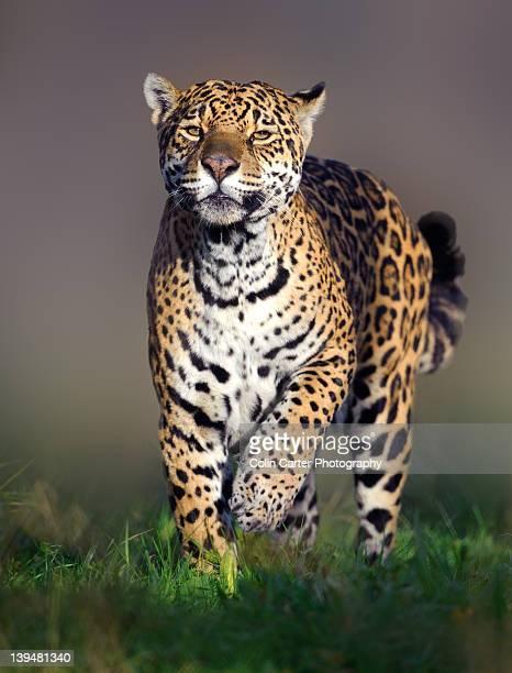 Walking Jaguar