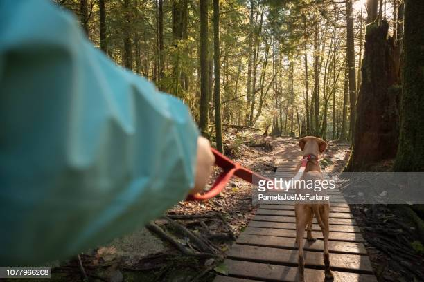 pov, walking leashed vizsla dog on boardwalk forest trail - point of view stock pictures, royalty-free photos & images