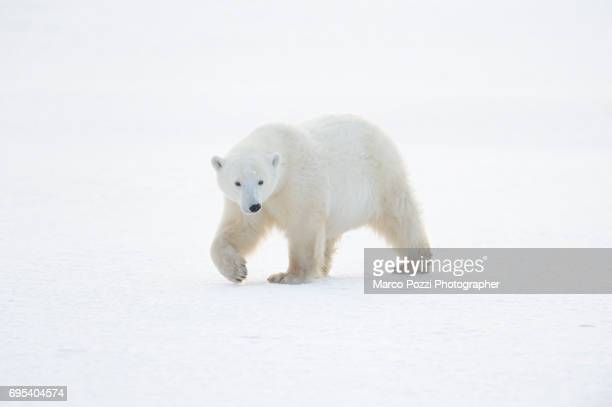 walking on ice - polar bear stock pictures, royalty-free photos & images