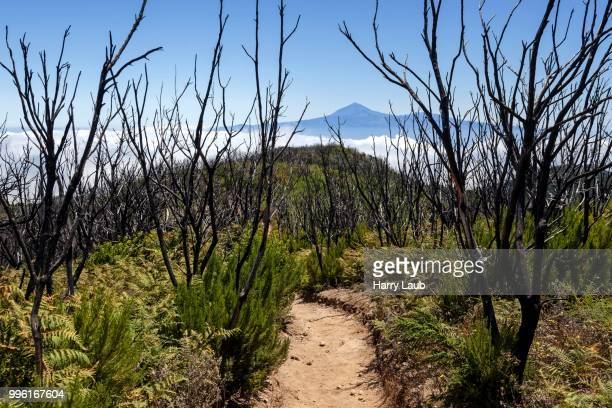 walking path to garajonay between charred tree trunks, traces of the forest fire of 2012, behind passat clouds and the teide on tenerife, la gomera, canary islands, spain - united_states_senate_election_in_virginia,_2012 stock pictures, royalty-free photos & images