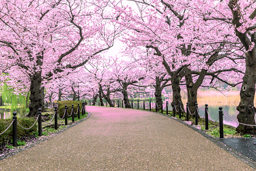 Walking path under the beautiful sakura tree or cherry tree tunnel in Tokyo, Japan 1132264290