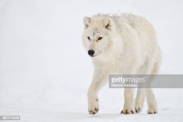 walking - arctic wolf stock photos and pictures