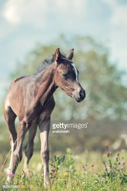 walking pony foal in the meadow