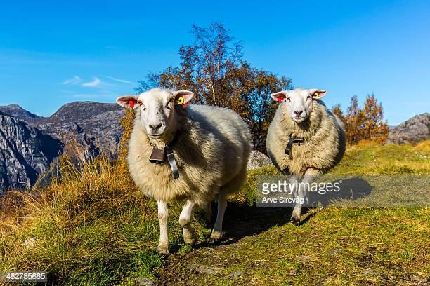 walking sheep's - ローガラン県 ストックフォトと画像