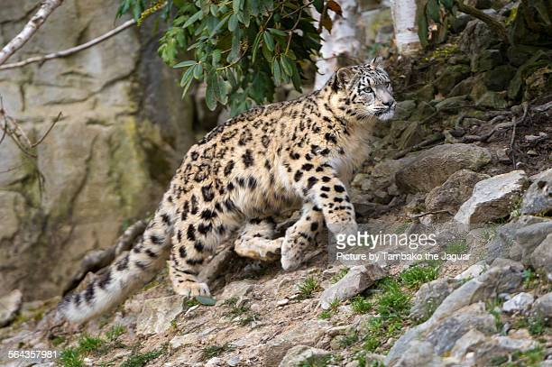 Walking snow leopardess